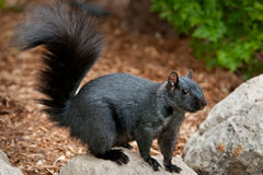 Black Squirrel Stock Photo