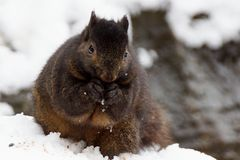 Black Squirrel In Snow. A black squirrel standing in snow and eating seeds Stock Photo
