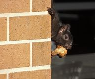 Black Squirrel steals Southern Deep Fried Chicken Wing. Scruffy black squirrel in California on the escape with a stolen southern deep fried chicken wing royalty free stock photo