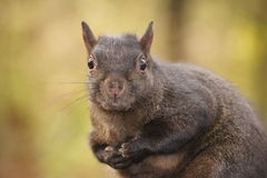Black squirrel, tiny hands. Stock Image