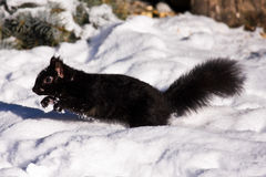 Black Squirrel In Winter Royalty Free Stock Photos