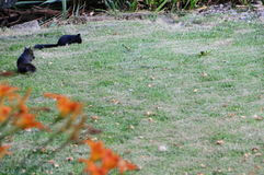 Black Squirrels Stock Photography