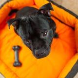 Black Staffordshire Bull Terrier Stock Photo