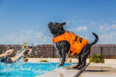 Staffordshire bull terrier dog in an orange lifejacket playing b. Black staffordshire bull terrier dog in an orange lifejacket playing safely by the side of a royalty free stock photos