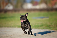 Black Staffordshire bull Terrier outdoors Stock Photography