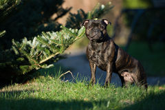 Black Staffordshire bull Terrier in the Park Stock Photo
