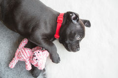 Black staffordshire bull terrier puppy Stock Image