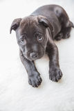 Black staffordshire bull terrier puppy Stock Photos