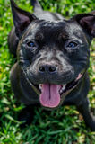 Black Staffordshire Terrier. The American Staffordshire Terrier, also known as Amstaff in the United States or simply Stafford, is a medium-sized, short-coated royalty free stock photos