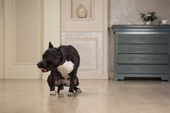 Black staffordshire terrier or pit bull seatting at the vintage interior Royalty Free Stock Images