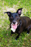 Black staffordshire terrier stock images