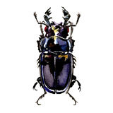 Black stag beetle, Lucanus cervus female, isolated, watercolor illustration on white, top view Stock Photography