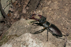 Black stag beetle macro portrait. Close up Royalty Free Stock Image