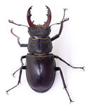 Black Stag Beetle. Male black Stag Beetle on white background Royalty Free Stock Images