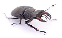 Black Stag Beetle. Royalty Free Stock Image