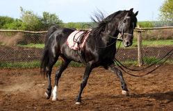 Black stallion. Training, horse is moving at a trot, trotter, beautiful horse, thoroughbred horse Royalty Free Stock Photography