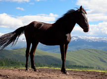 Black stallion Royalty Free Stock Images