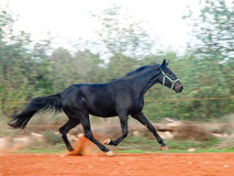 Black Stallion Stock Photos
