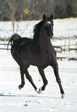 Black Stallion. A Stallion romps around in the snow in North Carolina.  A stallion is a male horse that has not been castrated Royalty Free Stock Photo