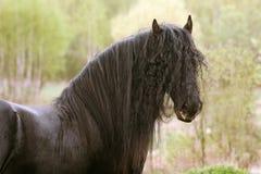 Black stallion. Purebred friesian stallion in summer Royalty Free Stock Photos