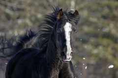 Black Stallion Stock Images