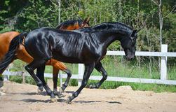 Black stallion and bay stallion gallop on manege. Bay stallion of Ukrainian riding breed and black stallion of Russian riding breed Stock Photo