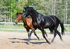 Black stallion and bay stallion in motion. Bay stallion of Ukrainian riding breed and black stallion of Russian riding breed Royalty Free Stock Photography