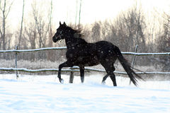 Black stallion Stock Image