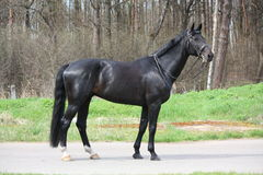 Black stallion with bridle standing at the road Royalty Free Stock Image