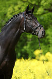 Black stallion in the colza field Stock Images