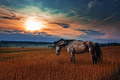 Black stallion in evening field Royalty Free Stock Photo