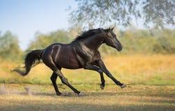 Black stallion free run. Black stallion run gallop on field stock photos