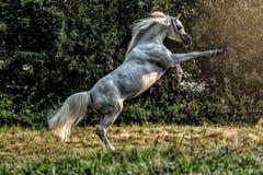 Black stallion fresian. Black friesian stallion gallops in the fog royalty free stock photos