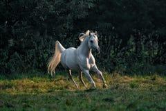 Black stallion fresian. Black friesian stallion gallops in the fog stock photography