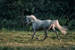 Black stallion fresian. Black friesian stallion gallops in the fog stock images
