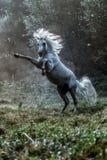 Black stallion fresian. Black friesian stallion gallops in the fog stock image