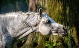 Black stallion fresian. Black friesian stallion gallops in the fog royalty free stock photo