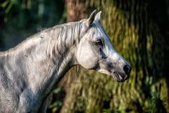 Black stallion fresian. Black friesian stallion gallops in the fog royalty free stock images