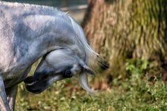 Black stallion fresian