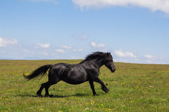 Black stallion gallop Stock Photo