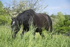 Black stallion on green meadow. Eating grass in nature stock photos