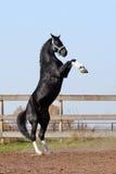 Black stallion on the hind legs Royalty Free Stock Image