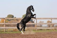 Black stallion on the hind legs Stock Photo