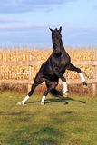 Black stallion on the hind legs Royalty Free Stock Photos