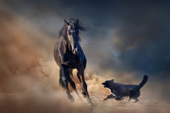 Black stallion horse Stock Photos