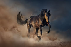 Black stallion horse Stock Photography