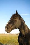 Black Stallion Horse Posing Stock Photography
