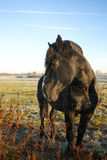 Black Stallion Horse Posing Royalty Free Stock Image