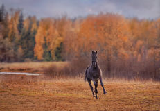 The black stallion Royalty Free Stock Photo