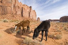 Black stallion in Monument Valley. Horses grazing in Monument Valley, Navajo tribal park,Utah stock photography